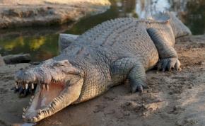 Ilyet még nem láttak: ortopédiai lemez volt egy krokodil gyomrában