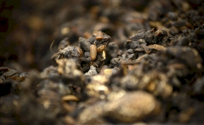 A kínai rovarhadsereg 50 tonna ételmaradékkal végez egy nap alatt