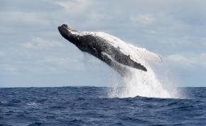 Ilyen az, amikor egy bálna pár méterre tőled dob egy hátast – elképesztő videó