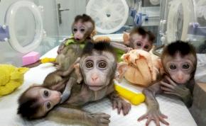Megalkották az első majom-ember hibridet