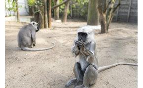 Hogy került ez a különös majom A dzsungel könyvéből Nyíregyházára?