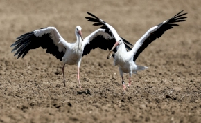 Korán itt hagynak minket idén a gólyák, de miért?