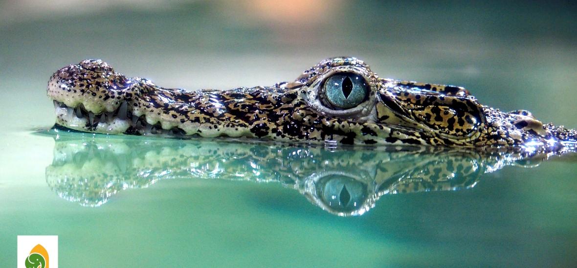 Aranyos és ritka krokodilocskák érkeztek a budapesti állatkertbe