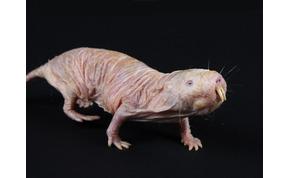 A világ legcsúnyább állata, mégis rengeteg szuperképességgel rendelkezik