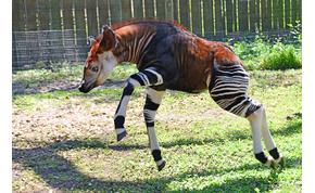 Itt egy állatfaj, amelyet sokáig csak a legendákból ismertünk