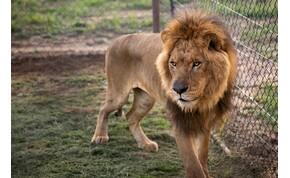 Az állatok királya, amikor gyöngéd apa, és elutasított társ – videók