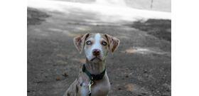 Hallottál már a kétorrú kutyáról, a világ egyik legkülönlegesebb fajtájáról?