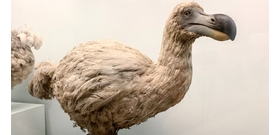 A világ egyik legszebb madárfaja azért halt ki, mert az összes példányt elfogyasztották