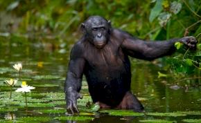 Az állatvilág szexkazánjai a bonobó majmok - videó