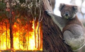 Könnyfakasztó képsorok: koalát mentett ki a tűzből a hősies nő - videó