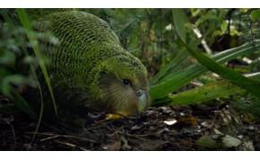 Az emberi összefogás gyönyörű példája a gyalogló papagáj megmentése