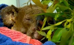 Elpusztult a koala, amit nemrég egy nő mentett ki a tűzből