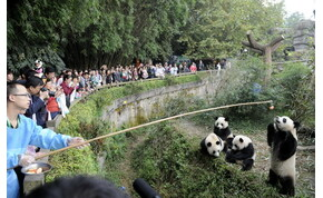 Nézz pandamacikat élő adásban a világ legnagyobb pandabirodalmából – videó