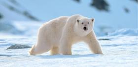 Harckocsinak nézték a jegesmedvét, lefújták festékkel
