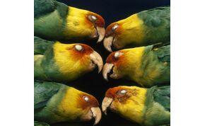 Az ember a felelős az USA egyetlen őshonos papagájának a kipusztulásáért