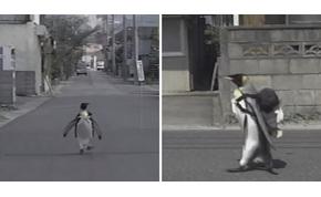 A pingvines hátitatyós pingvin egyedül megy a piacra halat venni – videó