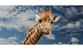 Hihetetlen, de igaz: a zsiráfok 30 percet alszanak naponta