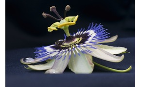 Egy misztikus virág, amely kereszténnyé tette a dél-amerikai indiánokat