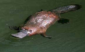 A kihalás fenyegeti az Ausztráliában honos kacsacsőrű emlőst