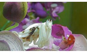Az orchideákon élő Manó egy kíméletlen gyilkos – videó