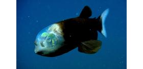 Egy hal, amelynek olyan feje van, mint egy földönkívüli csészealj pilótafülkéje – videó