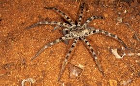 Magyarország legnagyobb pókfaja, marása felér a lódarázs csípésével – videó