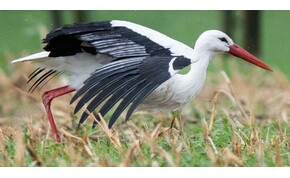 Megérkezett az első gólya Magyarországra – fotó