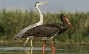 Élőben követhető a gemenci fekete gólyák élete