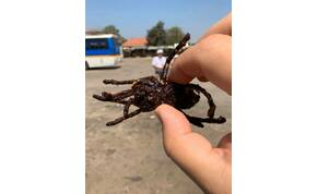 Zsolt utazása a tarantulák világába, ahol az éhséget csillapítják a rovarral – galéria