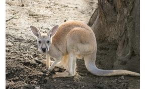 Előbújtak a Nyíregyházi Állatpart újszülött kengurui – videó