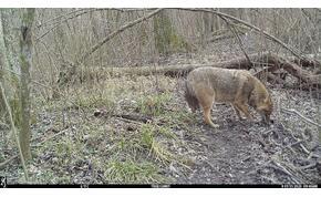Különleges vadakról készültek fotók a Duna-Dráva Nemzeti Parkban