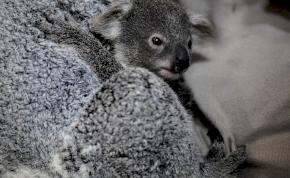 Veszélyeztetett faj lehet a koala, rengeteg egyed pusztult el a bozóttüzek miatt