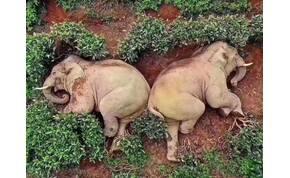 Kukoricabort vedeltek az elefántok, majd részegen elaludtak egy teakertben – képek