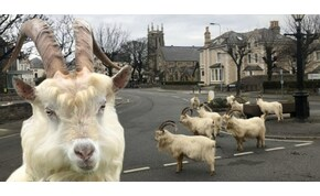 """Kijárási tilalom van a városban, a kecskék """"átvették az uralmat"""""""