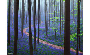 Az valami csoda, amit a természet művel ebben az erdőben: a kék virágok pázsitként borítják a földet
