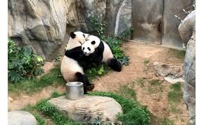 Tíz év után először párosodtak maguktól az állatkerti pandák