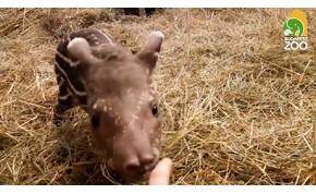 Eldöntheted, hogyan nevezzék el a budapesti állatkert kistapírját! – videó
