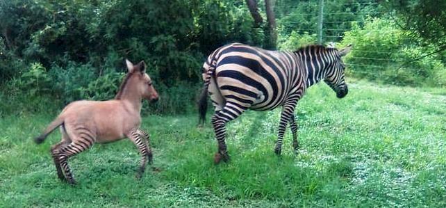 Elképesztően cukin néz ki egy zebra és egy szamár keveréke – képek
