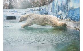 Látogatók nélkül máris párosodni kezdtek a jegesmedvék Nyíregyházán