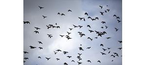 Mit jelent, ha alacsonyan szállnak a madarak?