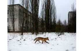 Kétfejű kutyák, ötlábú szarvasok? Milyenek ma az állatok Csernobilban? – videó