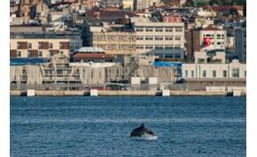 Se zaj, se szennyezés: a delfinek visszatértek a török partokhoz – videó
