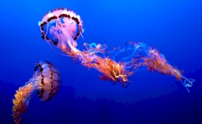 Velence zavartalan vizeiben gyönyörű medúzák úszkálnak – videó