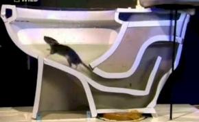 A patkány tényleg fel tud jönni a WC-n keresztül? – videó