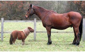 Tényleg csak méretbeli különbség van a pónik és a lovak között?