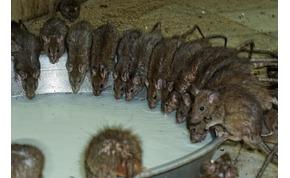 Egy templom, amelyben 20 ezer patkány él és amit megrágnak, az szent dolog lesz