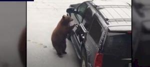 Egy medve elkötött egy autót, majd karambolozott – videó