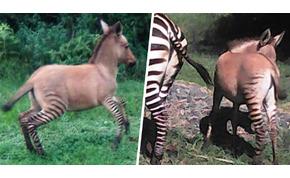 Zebra és szamár nászából született utód – videó