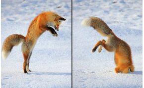 Elképesztő látvány: a föld mágneses terét használja a róka, hogy kiszimatolja áldozatát – videó
