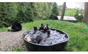 Fürdik a boldogságban ez a fekete medve
